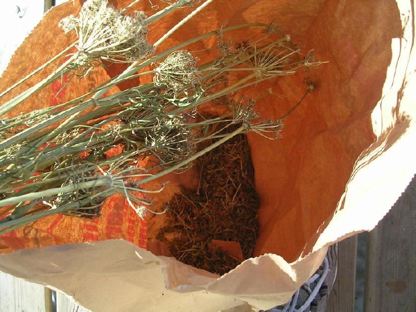 Saving carrot seed