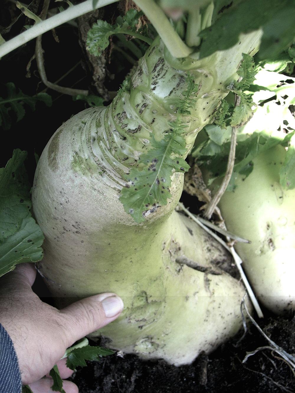Giant radish roots