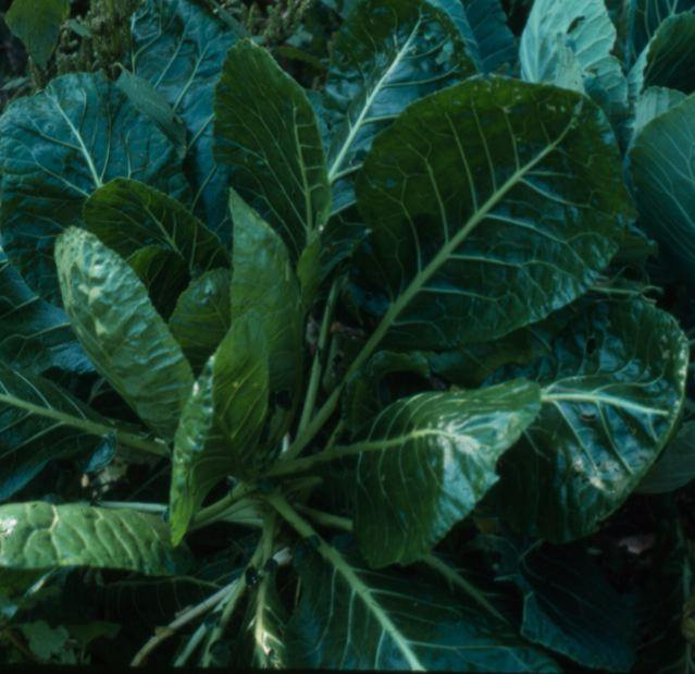 Southern Greasy Collard