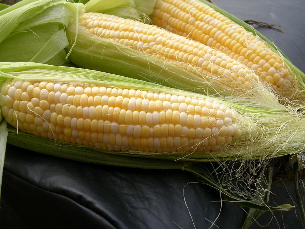 SWEET CORN (Zea mays) family: Poaceaceae