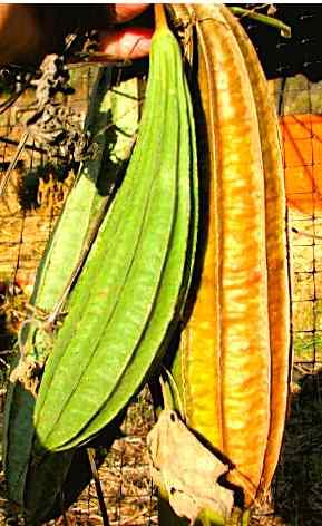 Ridged Luffa (Luffa acutangula)