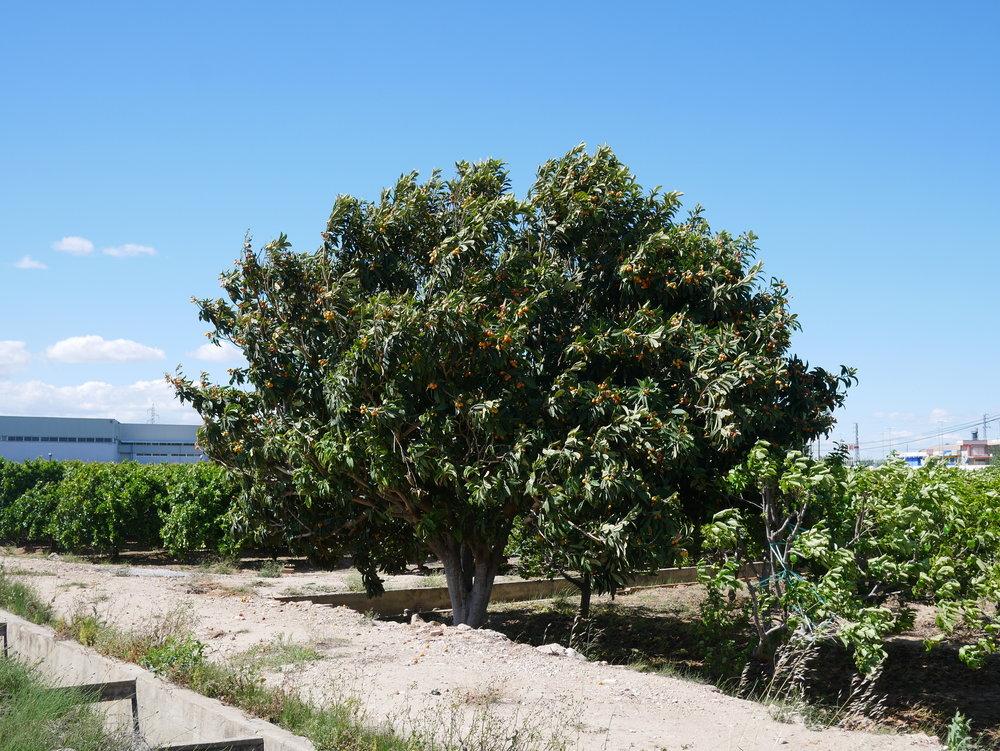 Nispero tree