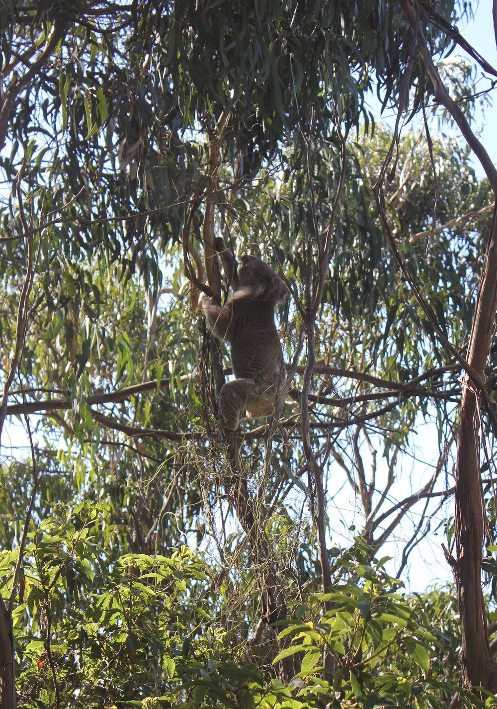 Koala Kennet River