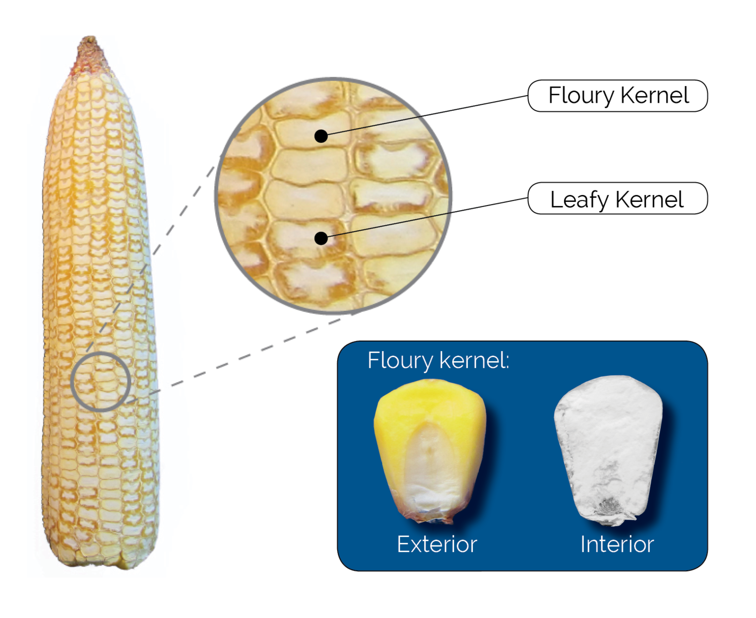 floury leafy ear shaved to reveal kernel composition  approximately 25% of  the kernels on