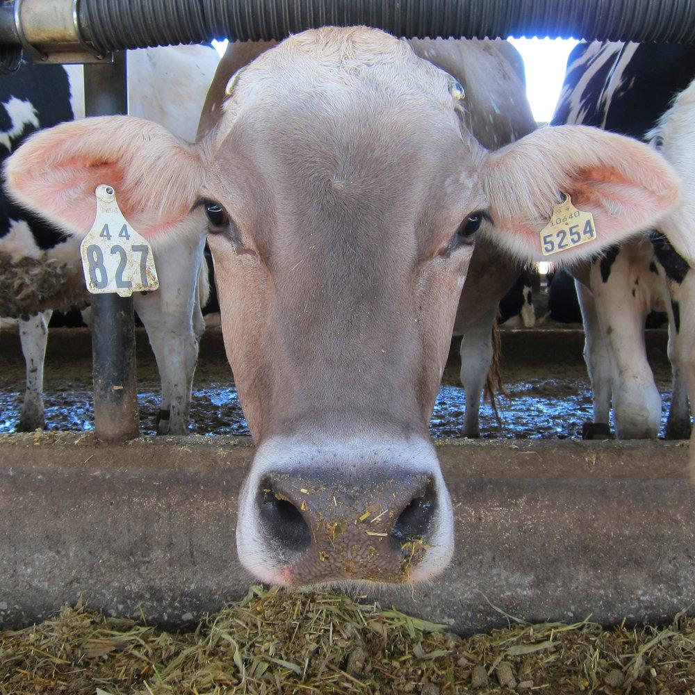 Floury-Leafy-Corn-Silage-Cow.jpg