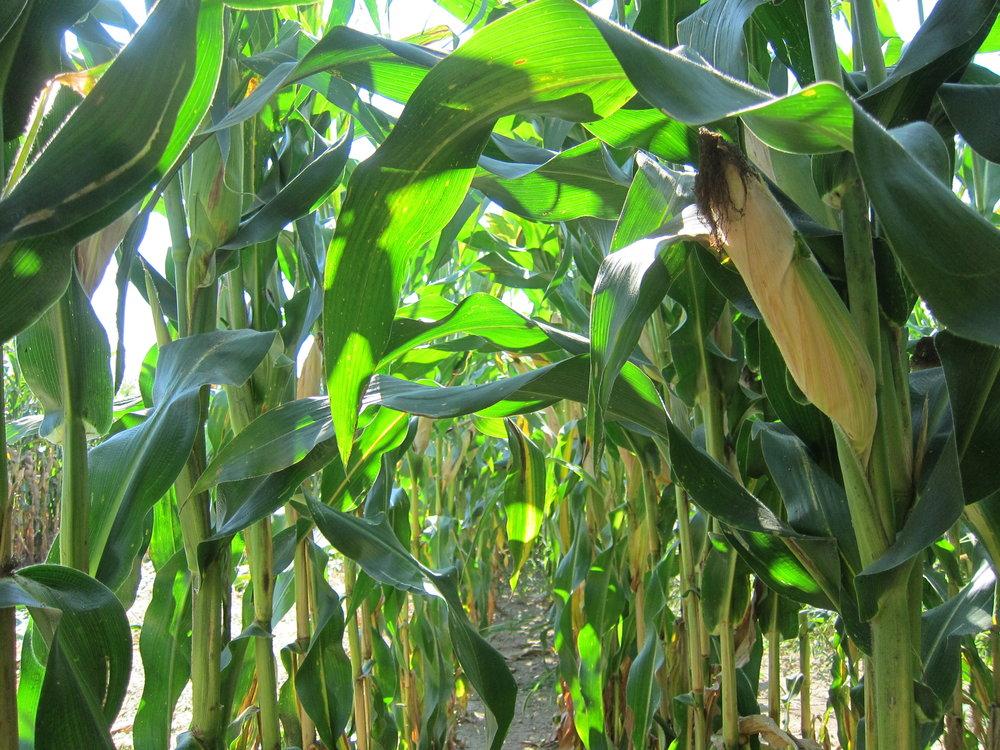 leafy-corn-silage.jpg