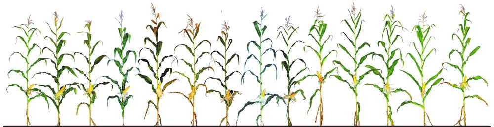 Leafy-Corn-Silage-Hybrids.png