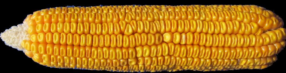 Leafy-Corn-Silage-Ear.jpg