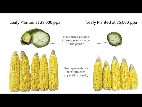 Plant Population — Glenn Seed Ltd