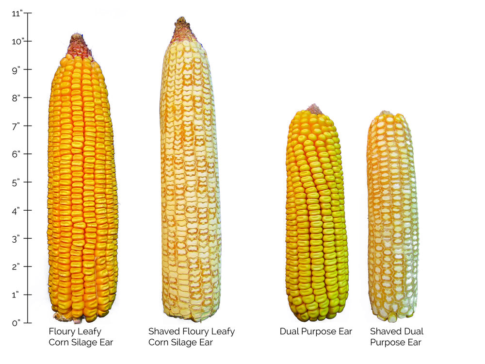 A silage-specific ear and a dual purpose grain corn ear that have been shaved to reveal kernel composition. The silage-specific ear contains much more floury starch.