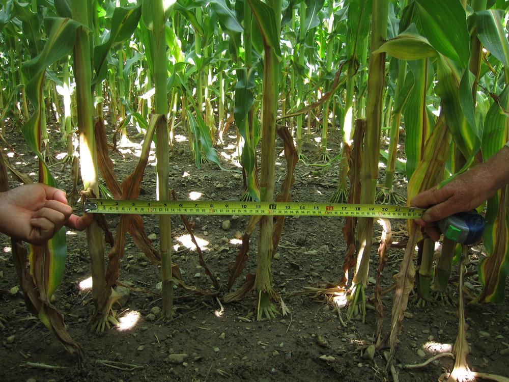 leafy-corn-silage-plant-population.jpg