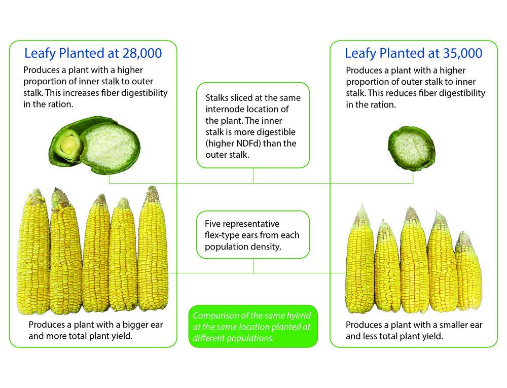 Plant-population-leafy-corn-silage.jpg