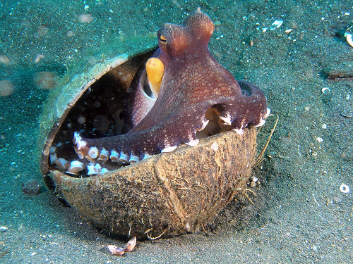 Octopus tool use