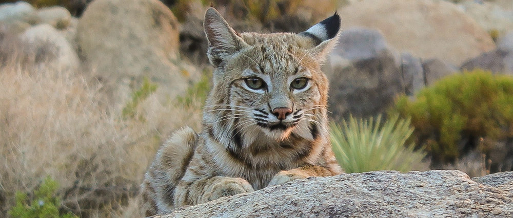Photo courtesy of Annica Kreuter | Bobcat is resting near Joshua Tree National Park
