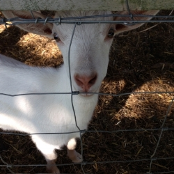 Halé Sofia Schatz, a resident of Lexington, Massachusetts, has a slightly unusual hobby: raising goats in her suburban backyard. Emily visited her house and interviewed her about what it's like to be a goat mom in the suburbs, and  wrote about it  for the  Boston   Globe , August 7, 2014.