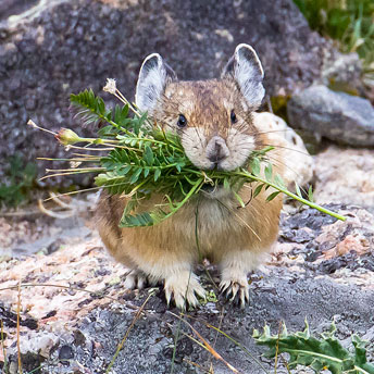 An American Pika builds its nest - www.nps.gov