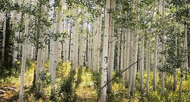 Light through aspen trees should get its own Color of green.