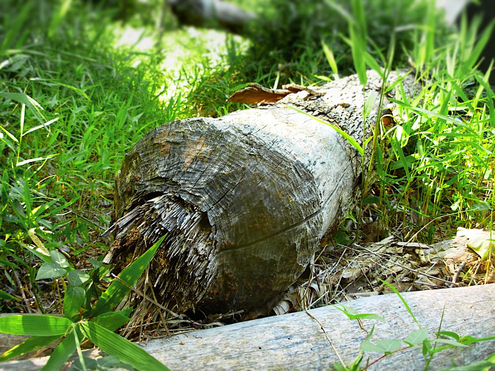 DSCN0843-Beaver-Log-sm.jpg