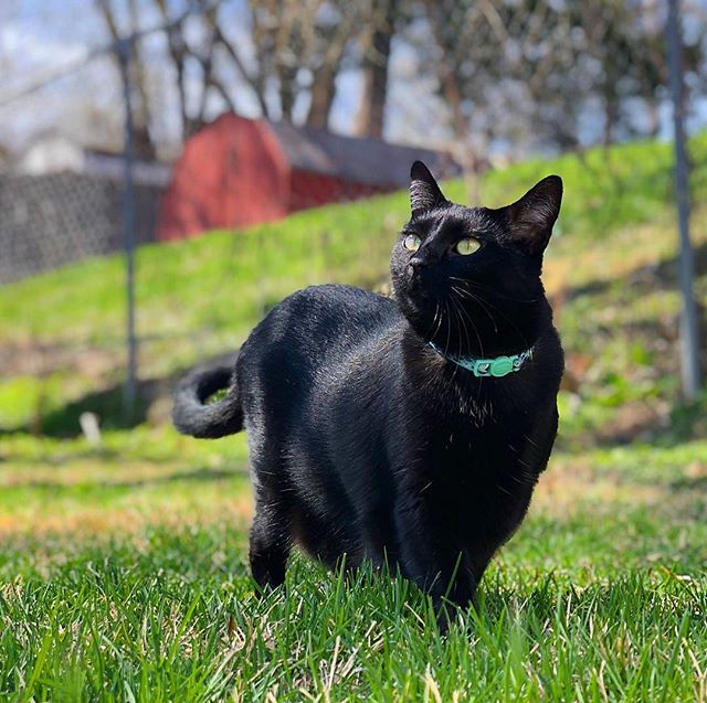 Everyone and their neighbor's mom's hairdresser's cousin knows that Taco McHandsome Pants is NOT adventurous. But he was owning the backyard like a modern day Lewis and Clark. #springhassprung #Tacocat #midwestcatmodel
