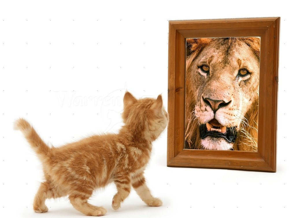 13545-Ginger-kitten-looking-in-mirror-and-seeing-a-lion-white-background.jpg