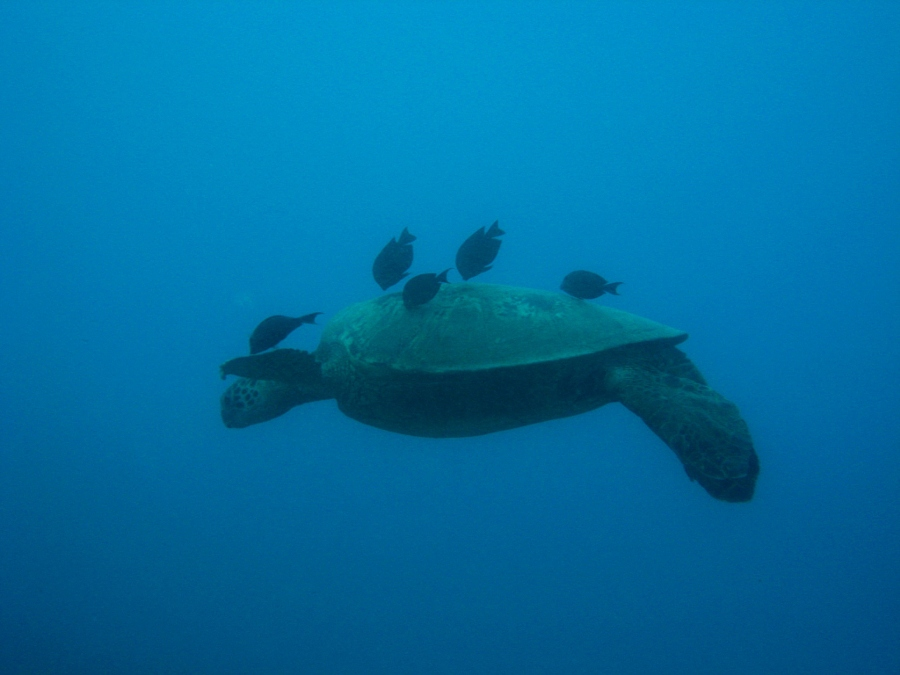 Giant Green Turtle