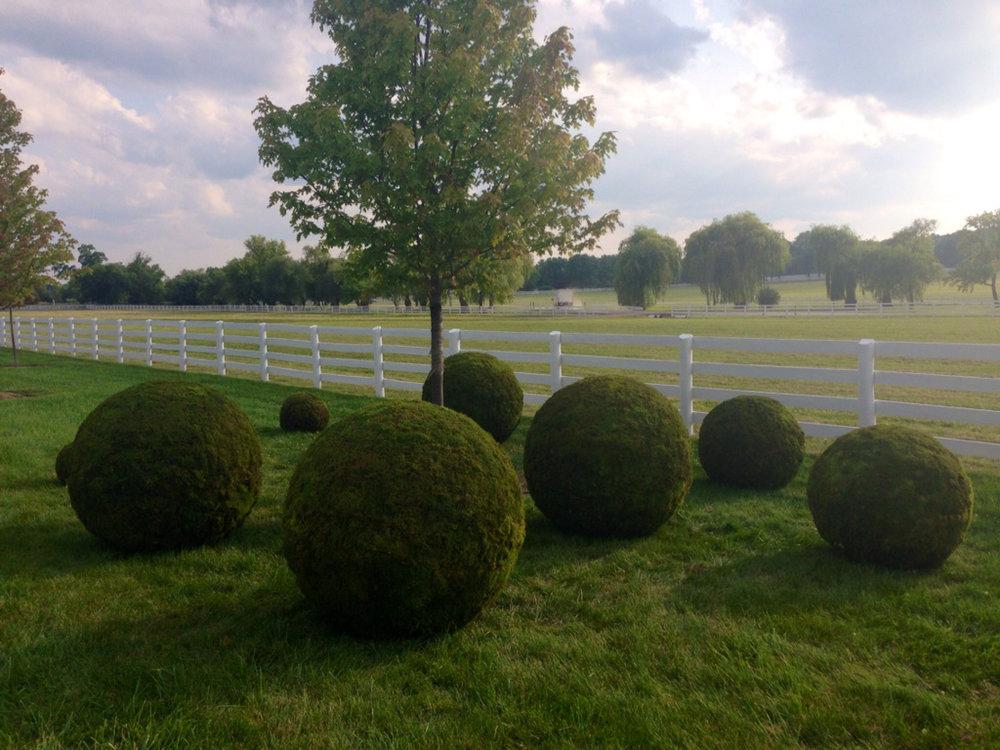 GIANT moss balls