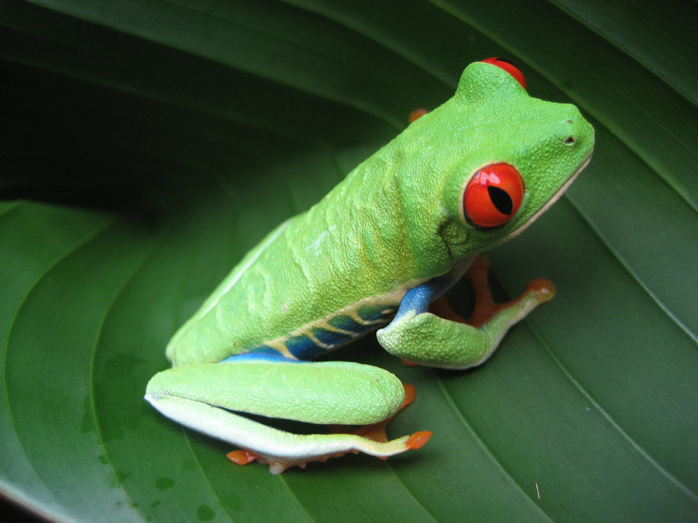 Costa frog