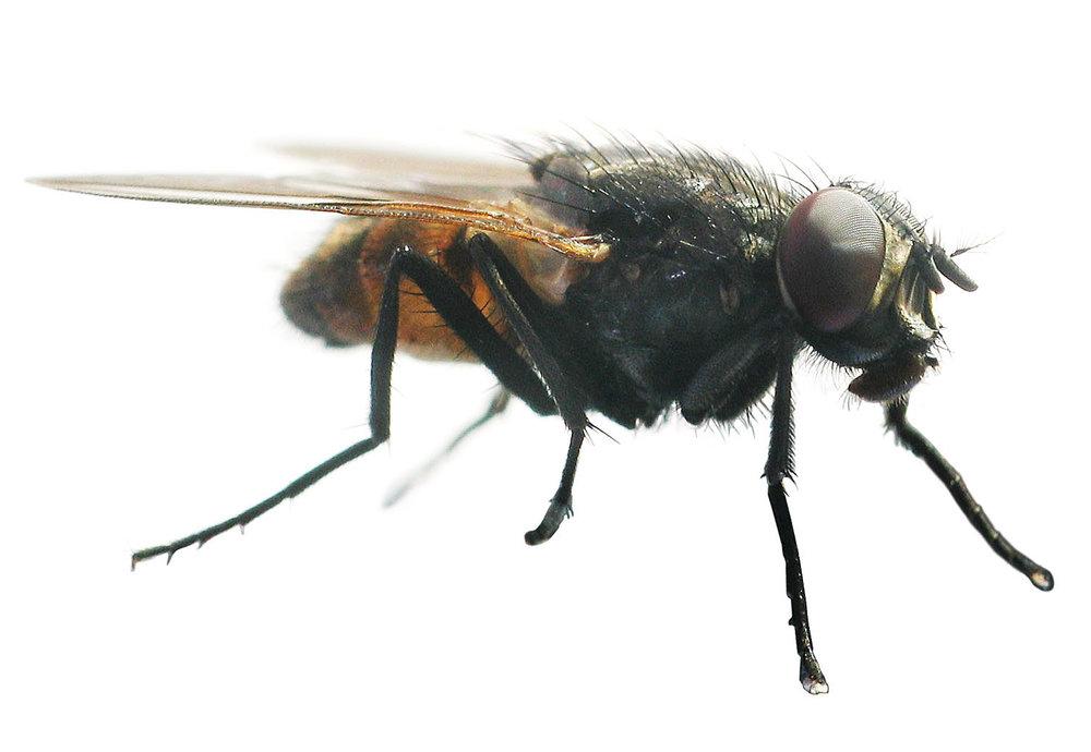the-fly-1058526.jpg