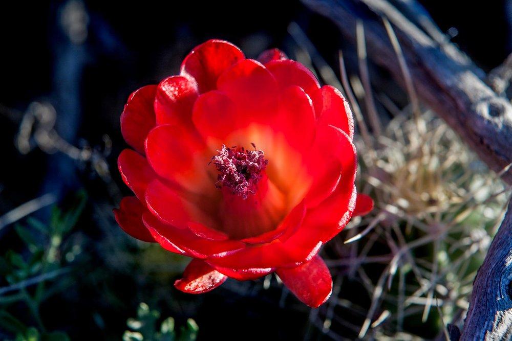 Cactus-flower-2.jpg