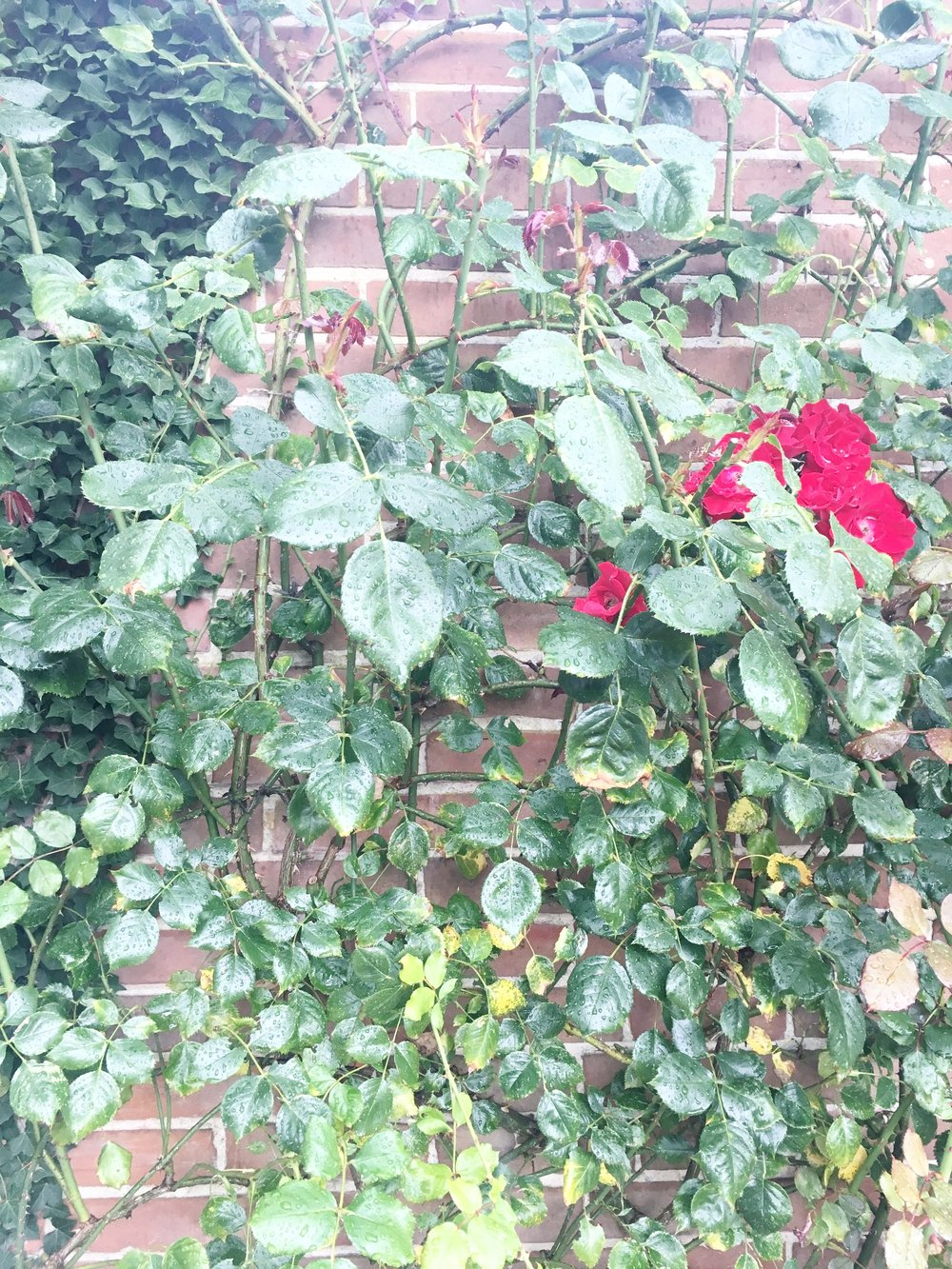 A stunning rose peeking out, climbing up an old and weathered wall at The Walled Nursery.