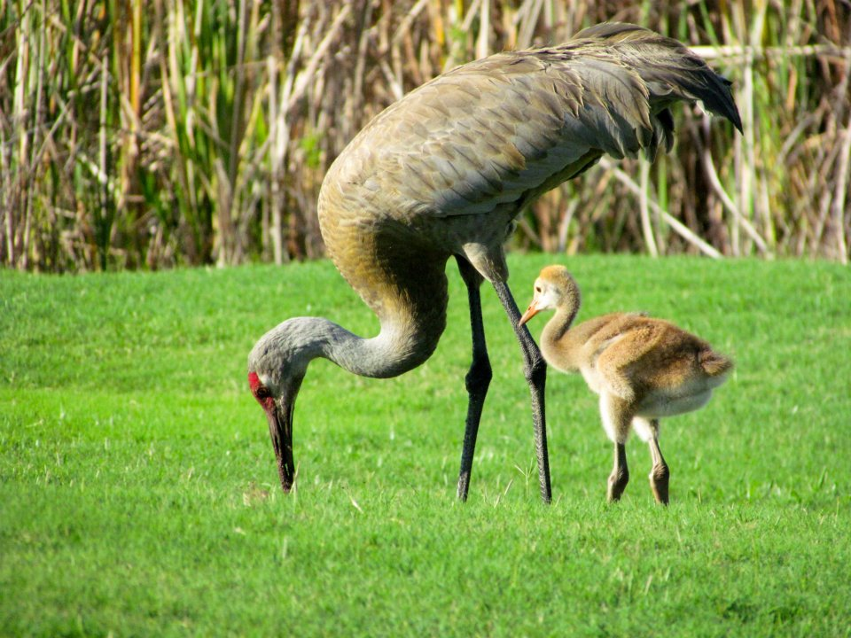 The Sandhill Crane and chick