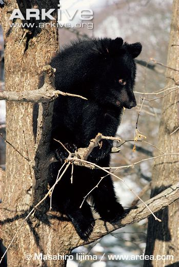 A juvenile Asiatic Black Bear, notably climbing a tree, for which an opposable digit is considerably useful. That digit, leaves a very unusual footprint, especially in the case of an overprint (when the animals back foot settles within the footprint of the front foot while walking). Photo   SOURCE