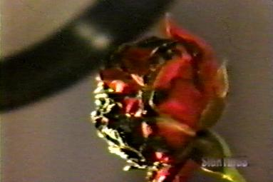 A partially burned rose, one of several items in the Sallie House that spontaneously caught fire or became scorched