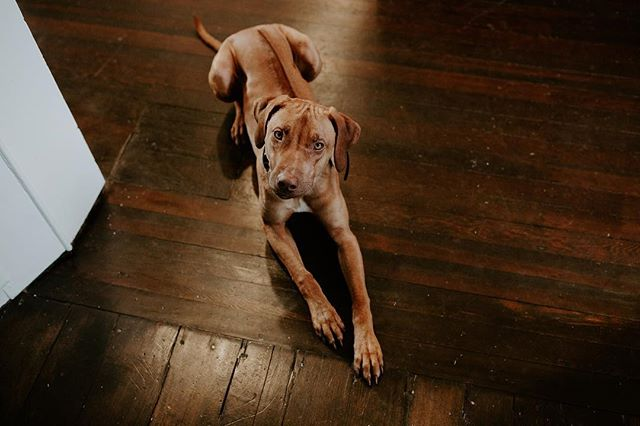 Had a conversation last night with a friend about the transition from house to home. A new (or newly remodeled) home can't stay perfect for long, but we agreed that it's those inevitable imperfections that make a house feel properly loved. For me, that meant this pup destroying our newly refinished hardwood in the family room - swipe for evidence. For her, it meant some (now repaired) damages from her son tossing a stool down their staircase (lolll I die). I've been pleasantly surprised at my nonchalance toward the cracks and scuffs and flaws as we've settled into this house. Because what is a home if not lived in? #butseriously #hedestroyedourfloors #shabbatheridgeback