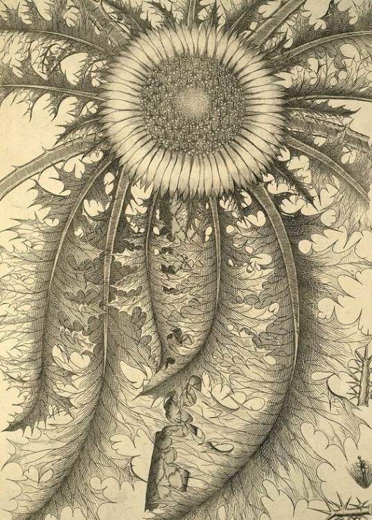 Our banner art above is a drawing by the famed 18th century researcher Carlo Allioni, (1728-1804). His drawings of nature remind us of the intricacies of how all of the biological world exists as patterns upon patterns, repeating in such a way that we can only see them as beauty in action. This member of the dandelion family is also a wink, wink to our Inception Publishing logo, just in case you hadn't already figured that out, which I'm sure you had.  -