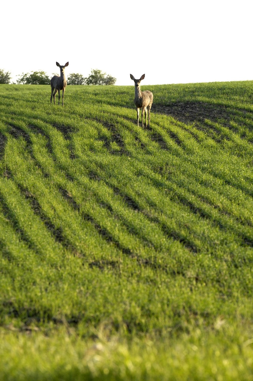 Deer on field - Copy.jpg