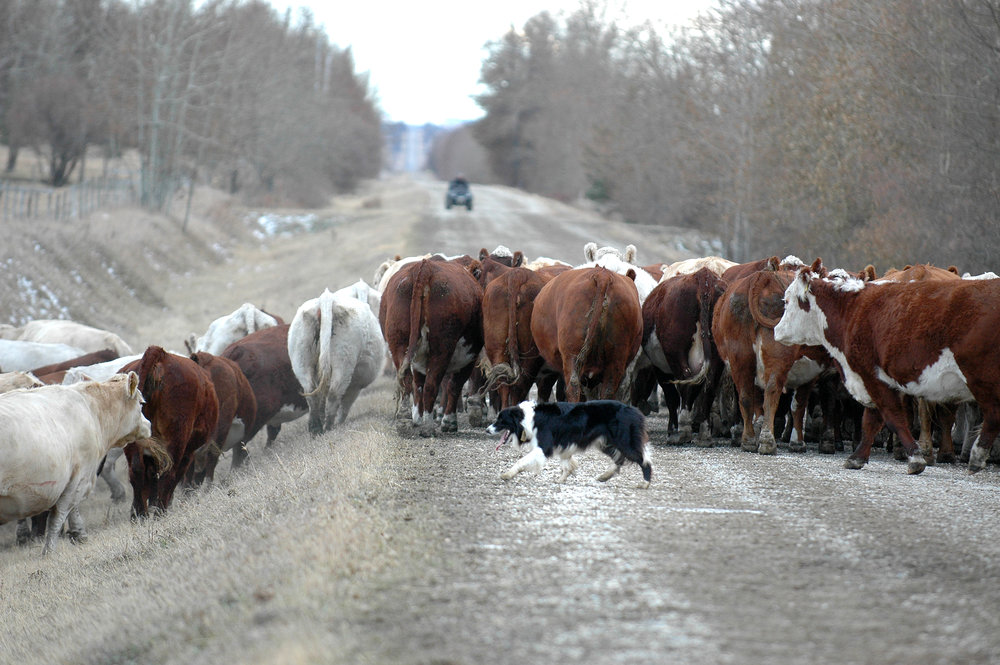 Cattle moving - Copy.jpg