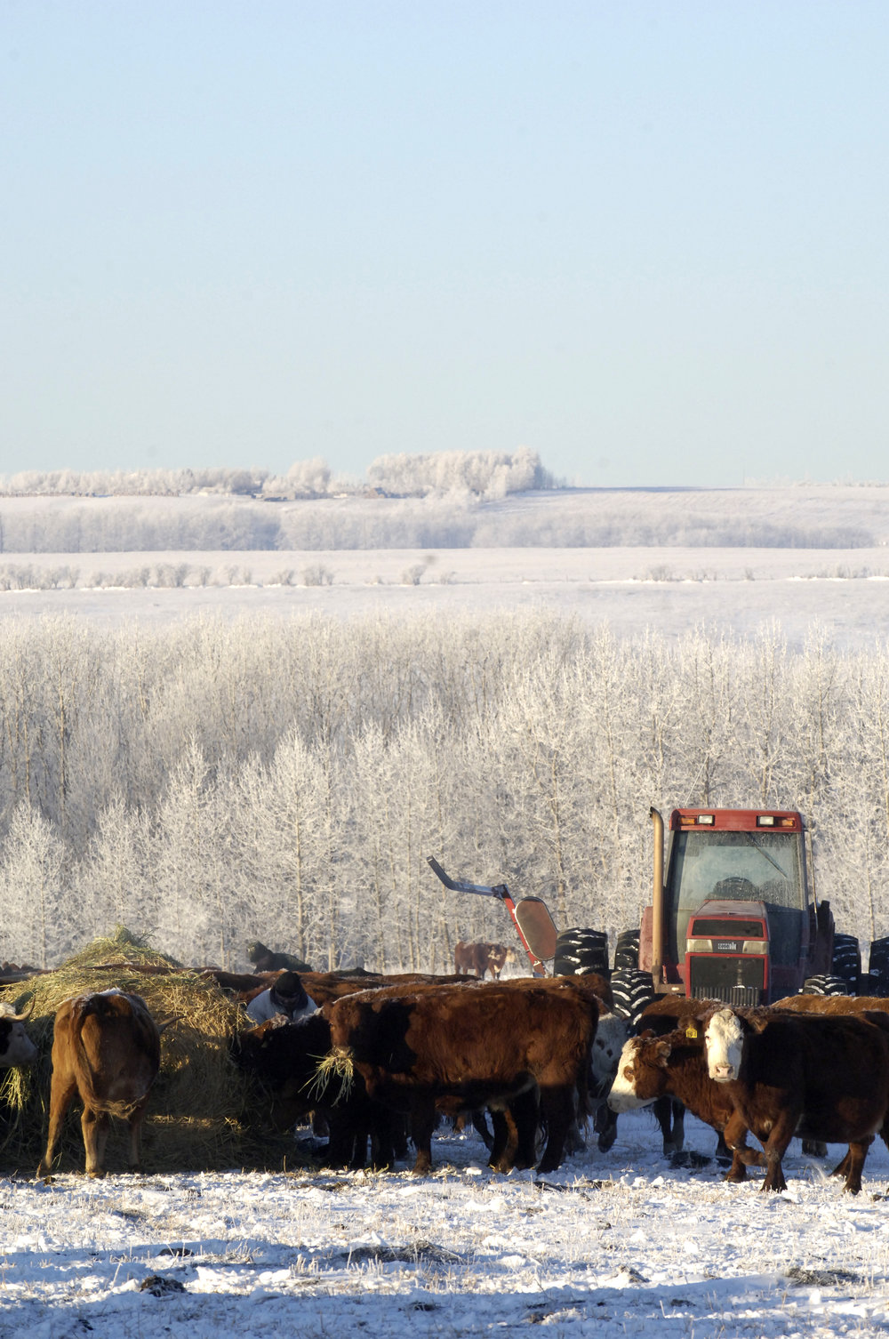 frosty feeding-bovine - Copy.jpg