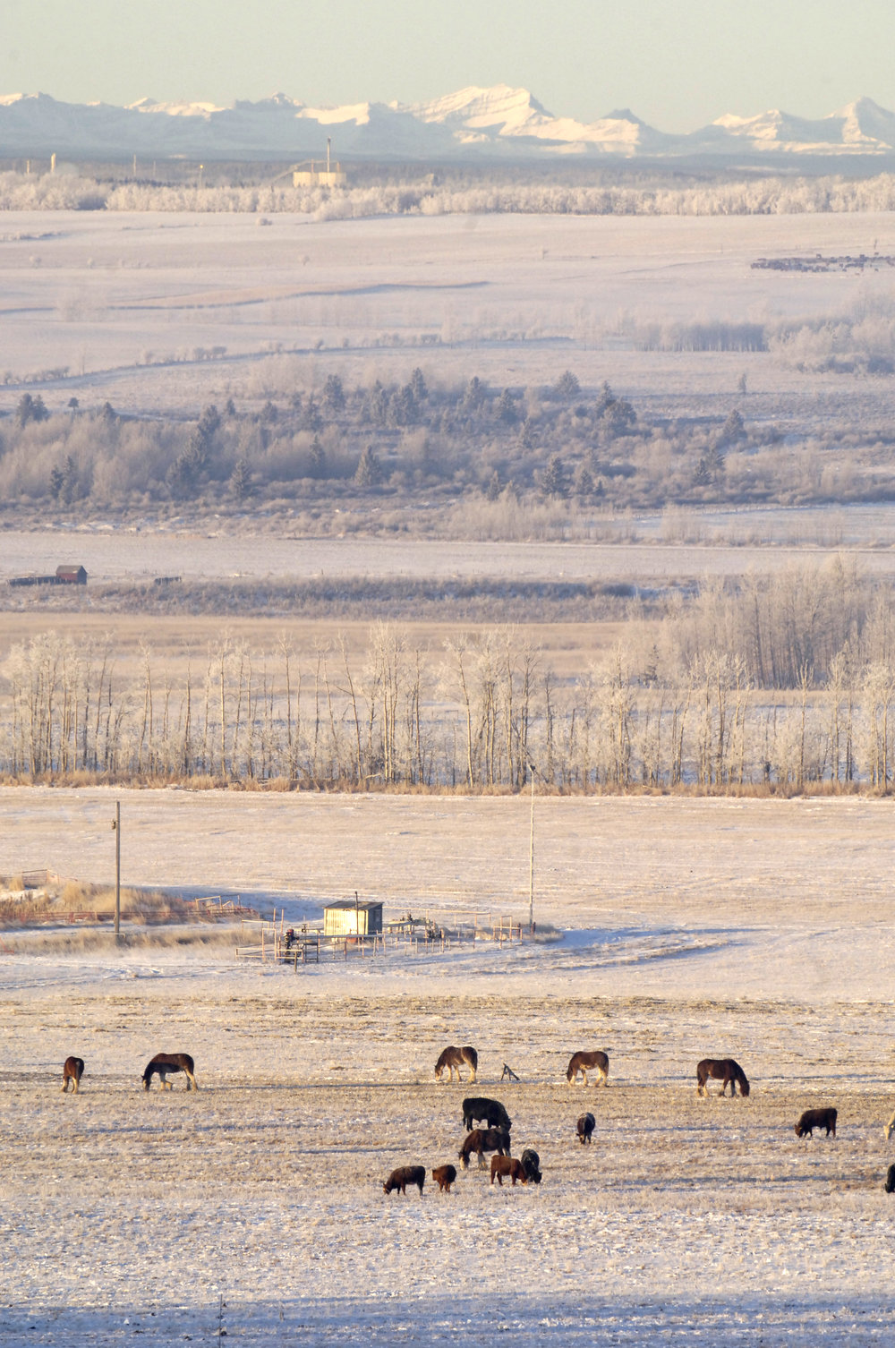 Frosty morning herd - Copy.jpg