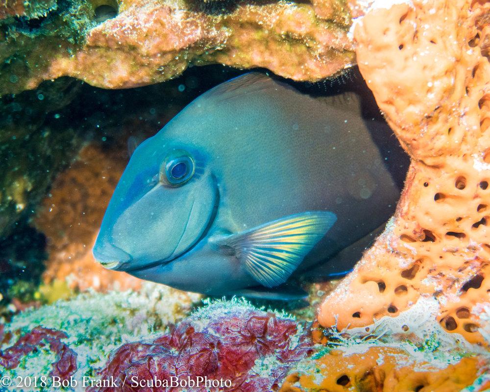 Doctor Surgeonfish