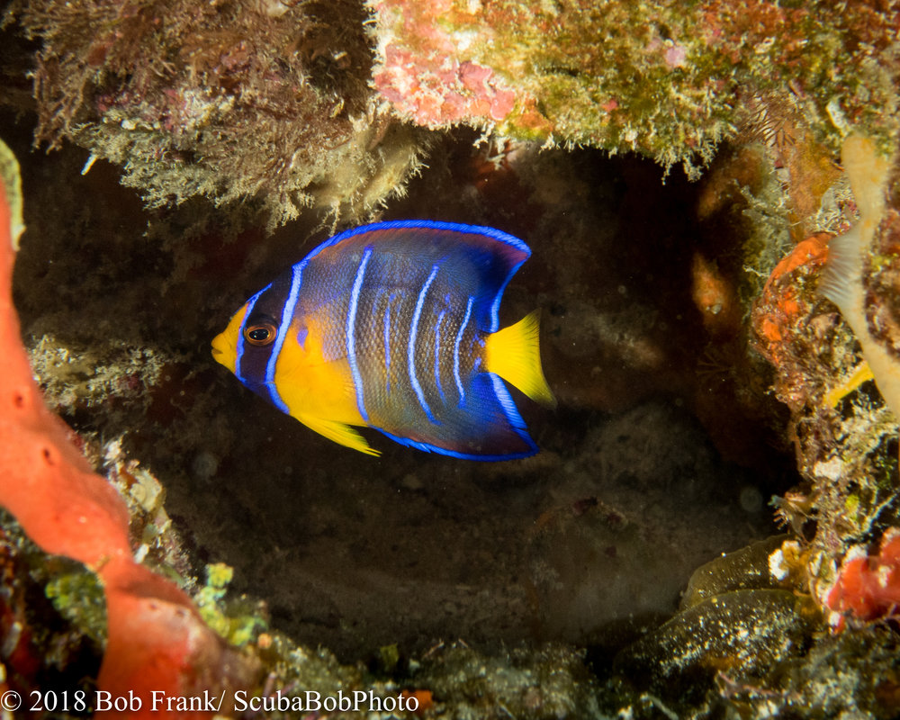 French Angelfish Juvenile
