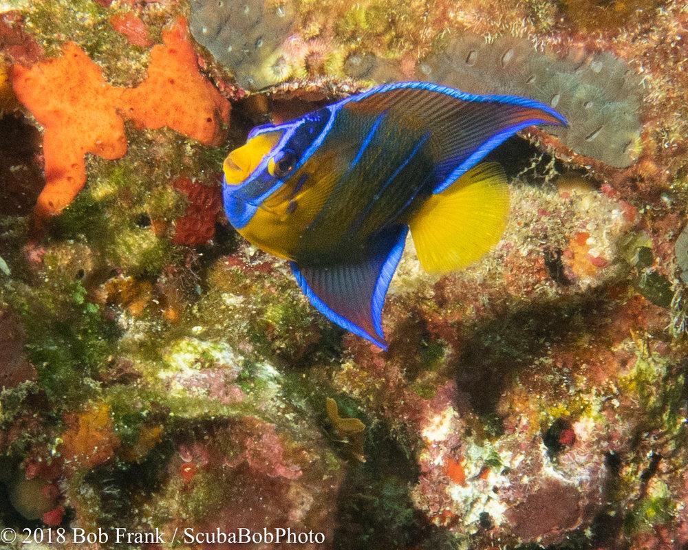 Juvenile Queen Angelfish