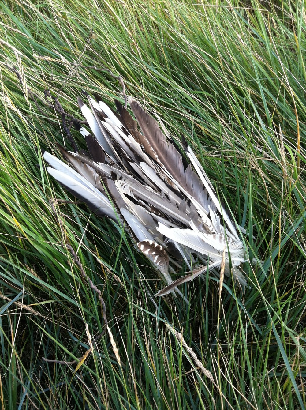 Feather Walks , feathers and grass,  2015