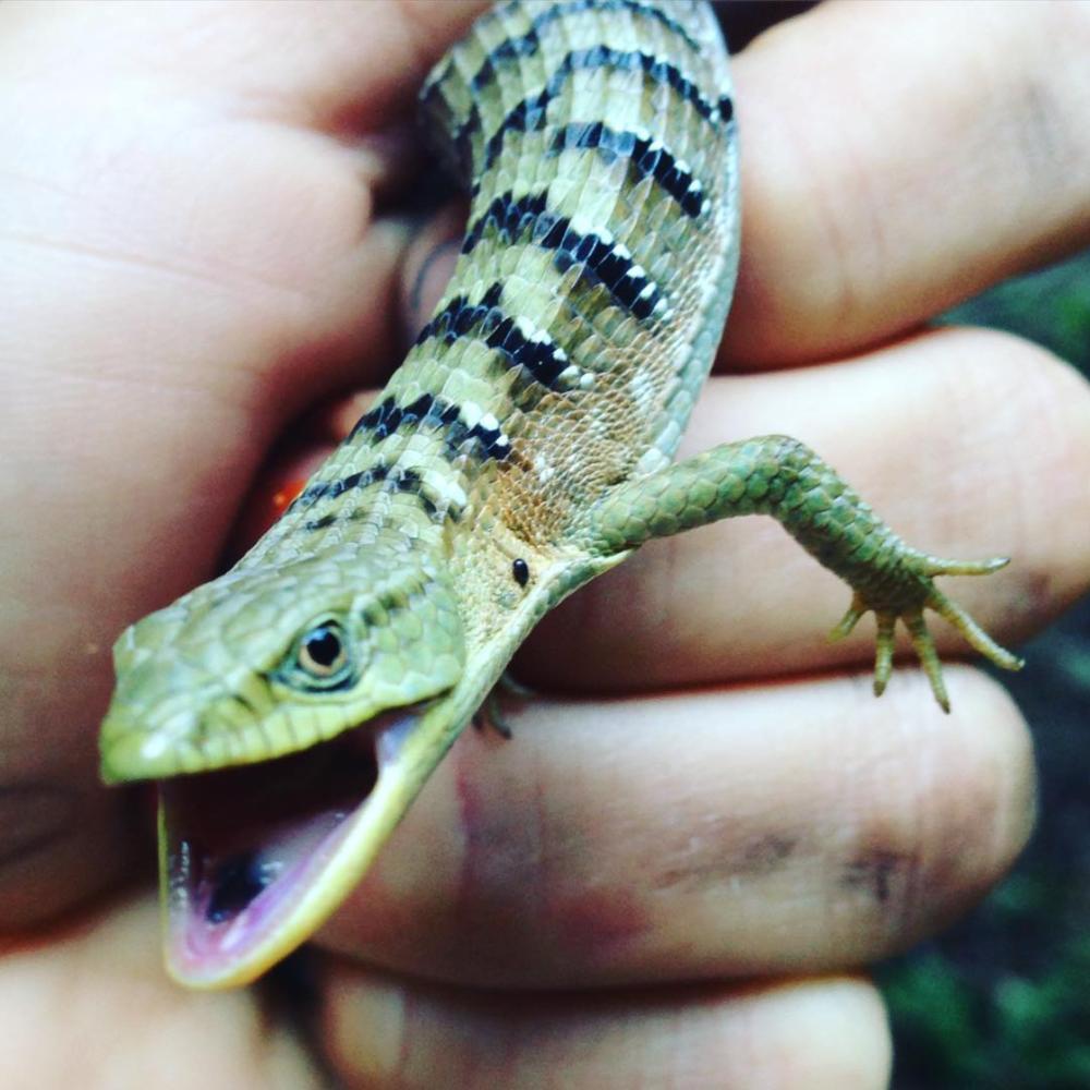alligator lizard.png