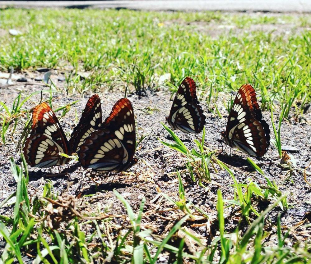 blk orange butterflies.png