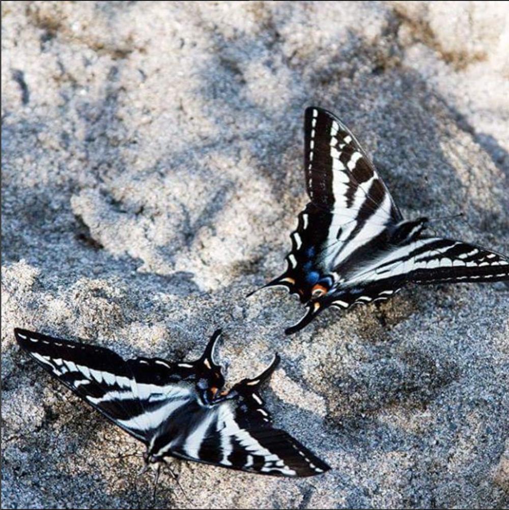 butterflies yelow:blue.png