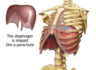 The diaphragm sitting domed inside the rib cage in its relaxed state of exhalation