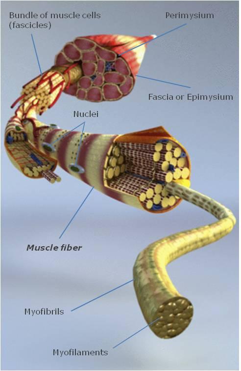 myfitnessroad.com — Fast-twitch muscle fibers