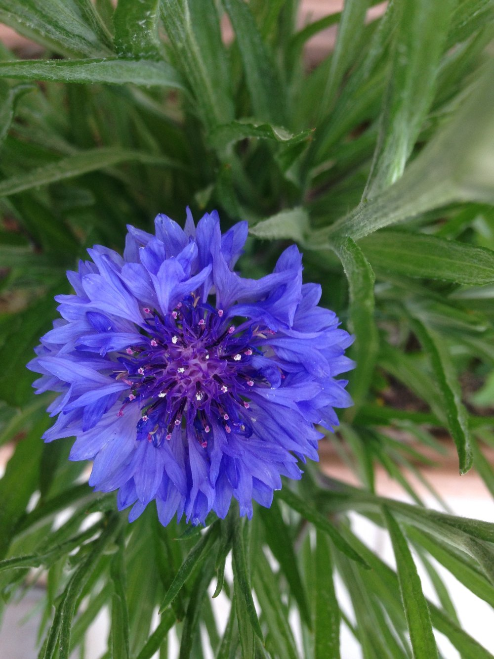 blue cornflower from the CCP HQ rooftop