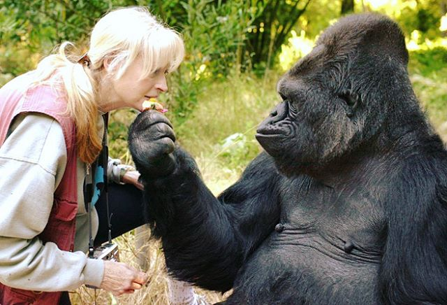 Today we celebrate the long life of the brilliant #Koko. She touched the lives of millions as an ambassador for all #gorillas and an icon for interspecies communication and empathy. Her famous encounters with #RobinWilliams and #MrRogers will always be remembered. Koko and other highly intelligent animals are an important reminder that we are all connected on this one #planet and no matter what race or species we are, we all deserve to communicate and live in harmony. #RIP #kokothegorilla . . . #mammal #gorilla #ape #primate #signlanguage #human #communication #animal #growth #learning #earth #animallover #friendtoanimals #conservation #wildlife #language #nonprofit #wildlifeconservation #monkey #chimpanzee #orangutan #coco